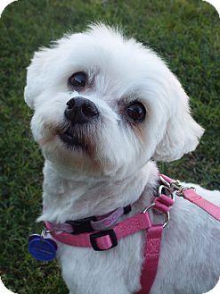 Maltese Mix Dog for adoption in Covina, California - Cassie