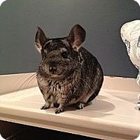 Adopt A Pet :: Tica - Granby, CT