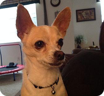 Chihuahua Dog for adoption in Vacaville, California - Johnny