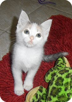 Domestic Shorthair Kitten for adoption in Plano, Texas - LOLLIPOP - DARLING PURR BABY!!