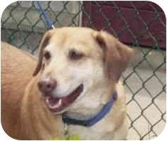 Corgi/Beagle Mix Dog for adoption in San Diego, California - Max