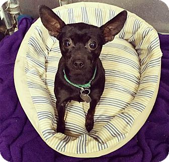 Chihuahua/Miniature Pinscher Mix Dog for adoption in Oak Park, Illinois - Skittles