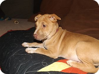 Pit Bull Terrier Mix Puppy for adoption in Quincy, Indiana - Sandy
