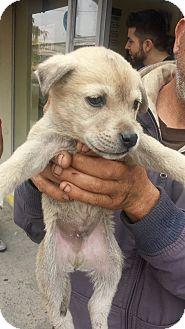 Australian Shepherd/Shepherd (Unknown Type) Mix Puppy for adoption in Las Vegas, Nevada - Aussie Shep Mix Pups Boy 2