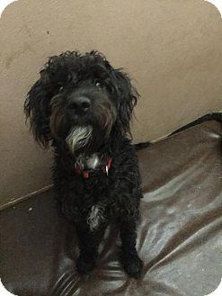 Schnauzer (Standard) Mix Dog for adoption in ST LOUIS, Missouri - Echo