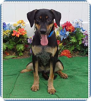Coonhound Mix Dog for adoption in Marietta, Georgia - ROPER