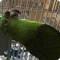 Adopt A Pet :: Okee Dokee - Punta Gorda, FL