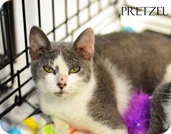 Domestic Mediumhair Kitten for adoption in Mansfield, Texas - Pretzel