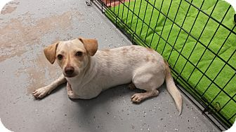 Chihuahua/Dachshund Mix Dog for adoption in San Leon, Texas - Lucas