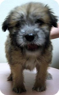 Collie Mix Puppy for adoption in Gary, Indiana - Bret