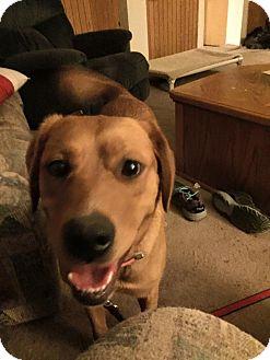 Labrador Retriever/Golden Retriever Mix Dog for adoption in Red Lion, Pennsylvania - RAMONA