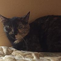 Domestic Shorthair Cat for adoption in Morganton, North Carolina - Bobbie Sue