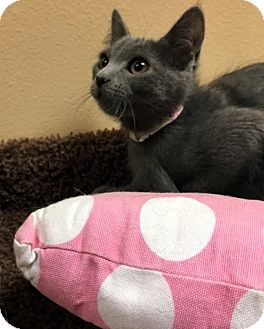 Domestic Shorthair Kitten for adoption in Las Vegas, Nevada - Tulip