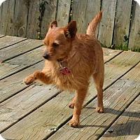Adopt A Pet :: *Shirra - PENDING - Westport, CT