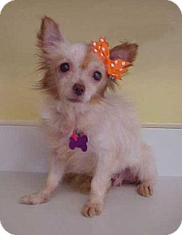 Chihuahua/Pomeranian Mix Dog for adoption in Dahlgren, Virginia - Cindy Lauper - 7 lbs