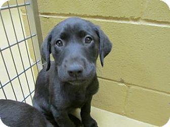 Labrador Retriever Mix Puppy for adoption in Waldron, Arkansas - DABBLING  URGENT!!!
