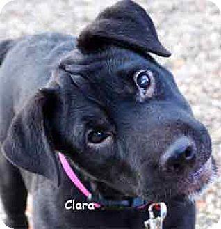 Labrador Retriever Mix Puppy for adoption in Warren, Pennsylvania - Clara