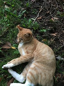 Domestic Shorthair Cat for adoption in Kohler, Wisconsin - September