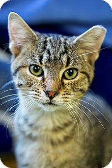 Domestic Shorthair Cat for adoption in Indianapolis, Indiana - Hodor