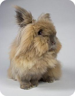 Lionhead for adoption in Kingston, Ontario - Nibbles