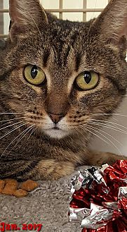 Domestic Shorthair Cat for adoption in Encino, California - Tigre