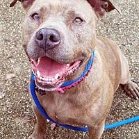 American Staffordshire Terrier Mix Dog for adoption in Ventura, California - Mahlaya