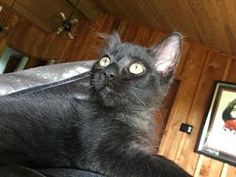 Domestic Shorthair/Domestic Shorthair Mix Kitten for adoption in Bulverde, Texas - Stoni