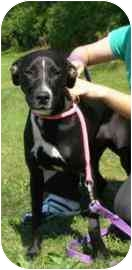 Labrador Retriever Mix Dog for adoption in Walker, Michigan - Nikki