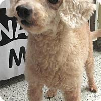 Adopt A Pet :: Teddy Bear - Conroe, TX