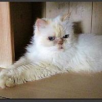 Adopt A Pet :: Adora - Gilbert, AZ