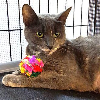 Domestic Shorthair Cat for adoption in Toronto, Ontario - Arya Stark