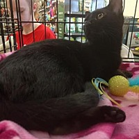 Bombay Cat for adoption in Maryville, Tennessee - Jellybean