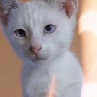 Adopt A Pet :: Sterling 2 - Austin, TX
