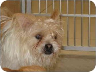 Chihuahua/Shih Tzu Mix Dog for adoption in South Lake Tahoe, California - Bear