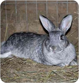 Mini Lop Mix for adoption in Whittaker, Michigan - Mamie, Dodd, & Cousteau