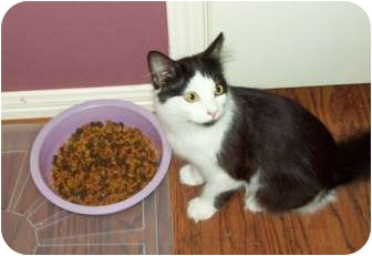 Domestic Longhair Cat for adoption in Houston, Texas - Mouse