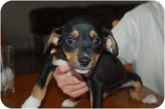 Miniature Pinscher Mix Puppy for adoption in Hainesville, Illinois - Luigi