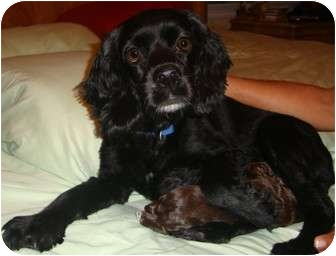 Cocker Spaniel Mix Dog for adoption in Coral Springs, Florida - Sadie & puppies