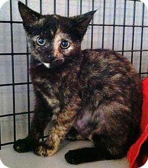 Domestic Shorthair Kitten for adoption in Deerfield Beach, Florida - Pip