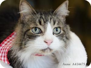 Domestic Mediumhair Cat for adoption in Sacramento, California - Andre