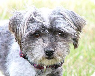 Maltese/Poodle (Miniature) Mix Dog for adoption in Mocksville, North Carolina - Peapod