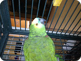 Amazon for adoption in Punta Gorda, Florida - Bluebird