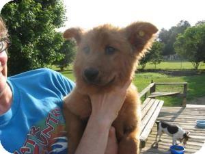 Labrador Retriever Mix Puppy for adoption in Rocky Mount, North Carolina - Casee