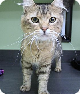 Domestic Mediumhair Cat for adoption in Lufkin, Texas - Moses