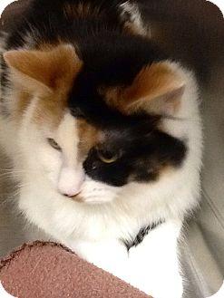 Calico Cat for adoption in Webster, Massachusetts - Misti