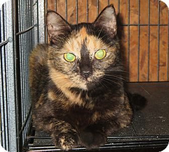 Domestic Shorthair Cat for adoption in Elizabeth City, North Carolina - Winter Rose