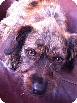 Border Terrier Puppy for adoption in Los Angeles, California - Liam