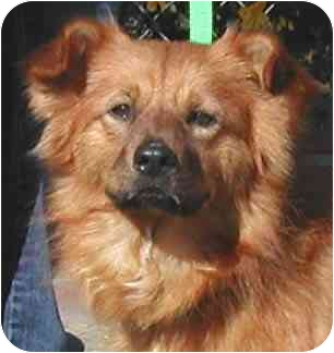 Pomeranian/Sheltie, Shetland Sheepdog Mix Dog for adoption in Rolling Hills Estates, California - Marty