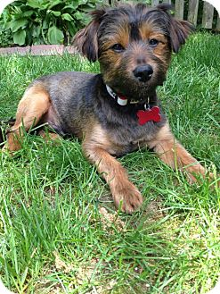 Yorkie, Yorkshire Terrier/Poodle (Miniature) Mix Puppy for adoption in W. Warwick, Rhode Island - RI TRAVIS