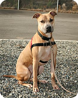 Black Mouth Cur/Pit Bull Terrier Mix Dog for adoption in Bellingham, Washington - Athena